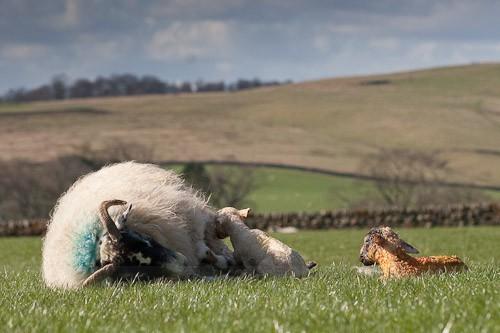 19 - The Lambing