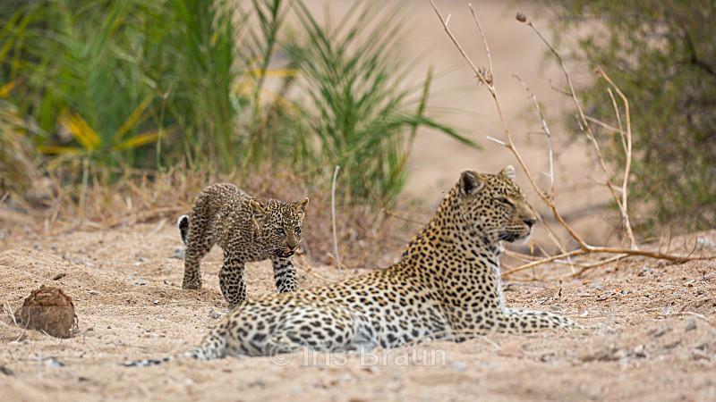 Family - Leopard