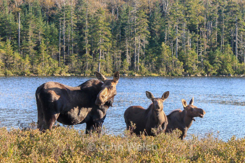 Moose Family Staredown - White Mountain National Forest and Northern New Hampshire