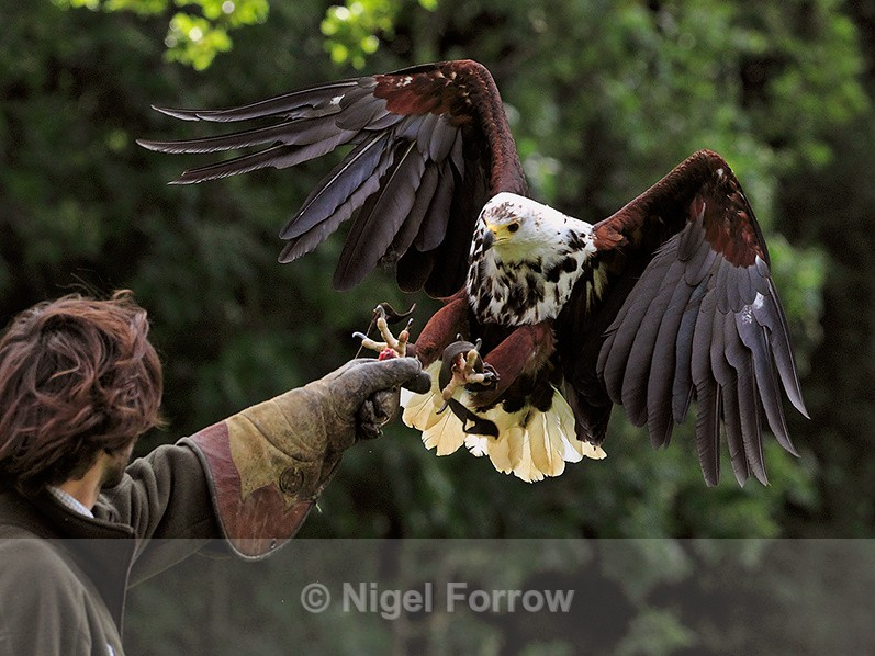 African Fish Eagle about to land on a falconer's glove at Shuttleworth - Captive Birds