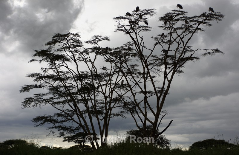 Marabou Stork Roost - Tanzania Birds and Mammals