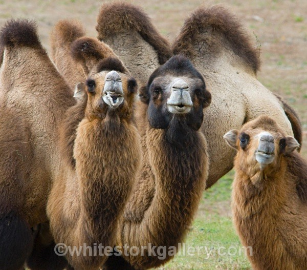 Camels - Wildlife and Animals