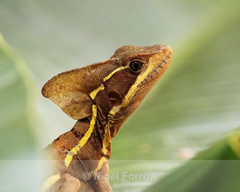Brown Basilisk (male) close-up, Tortuguero, Costa Rica - REPTILES & AMPHIBIANS