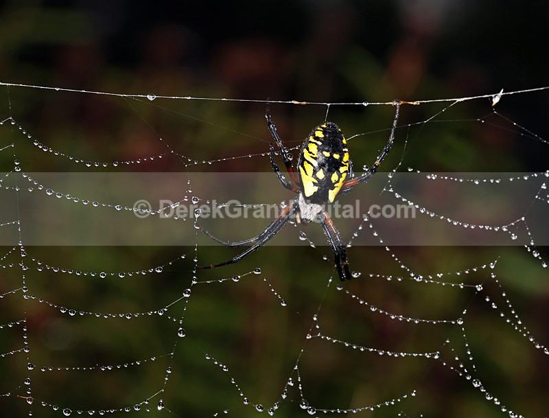 Argiope aurantia (f) - Spiders of Atlantic Canada
