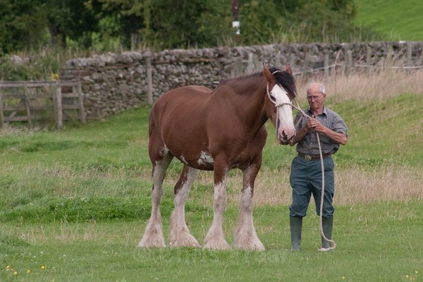 9 - Clydesdales