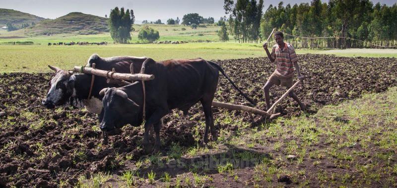 ploughman - Ethiopia
