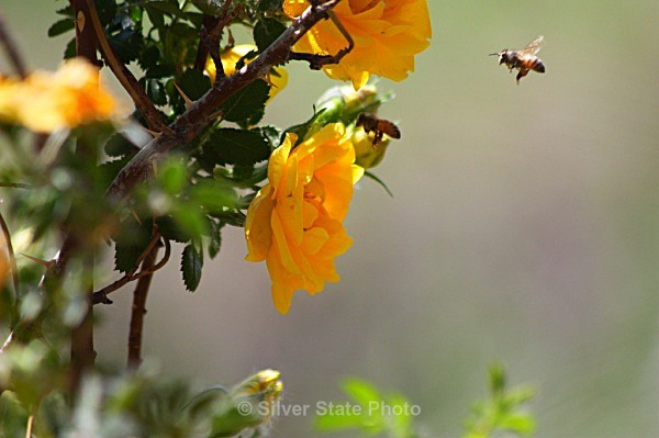 Yellow Rose & Bees - 'Wildlife' (Big & Small)