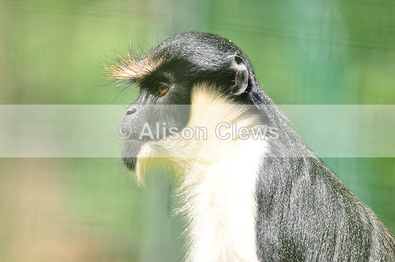 Diana Monkey - Wildlife