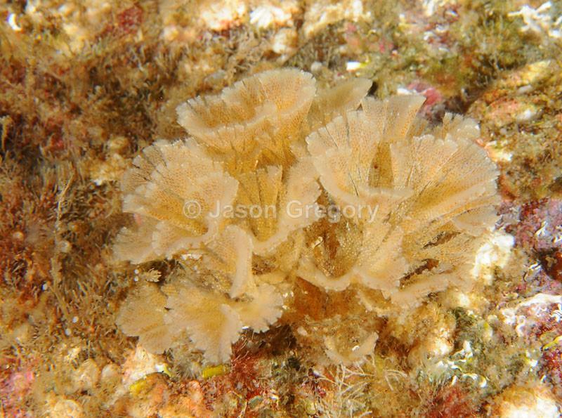Bugula flabellata 2 - Sea Mats (Bryozoa)