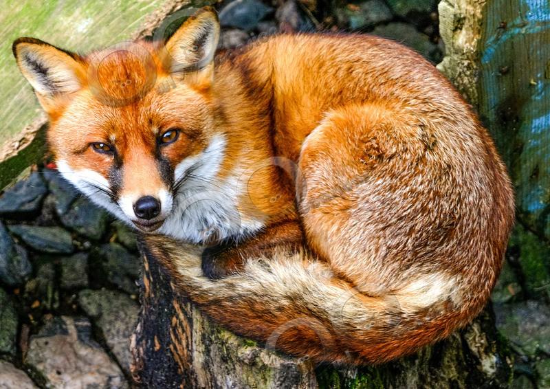 fox vulpes vulpes-2022 - UK Wildlife