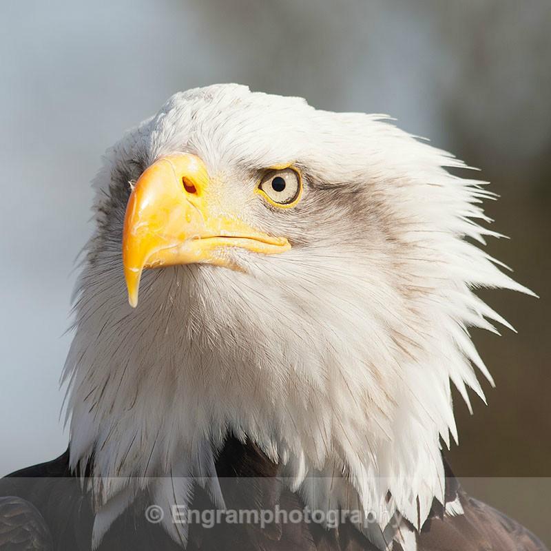Bald Eagle-6073 - RSCH Gallery displayed images