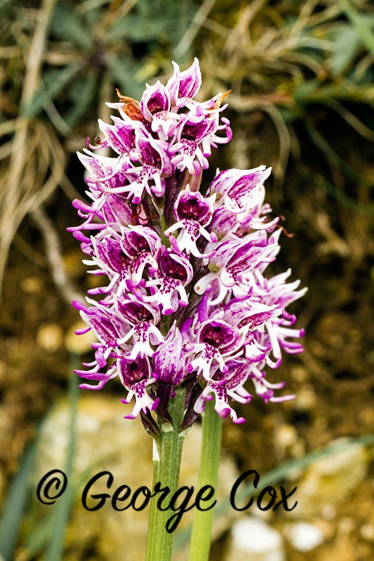 Monkey Orchid - Orchids
