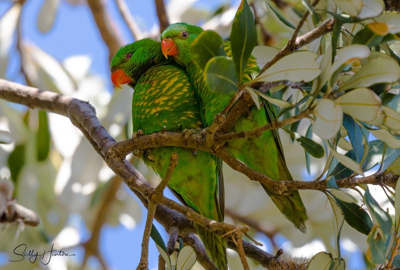 Greeny Pair 1 - Lorikeets (For Sale)