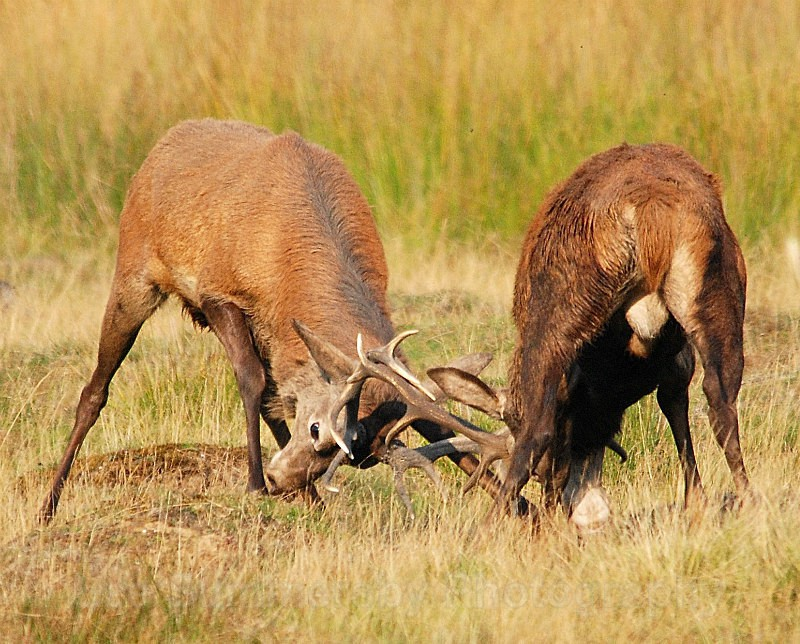 Battling Stags, Richmond Park, London - Mammals