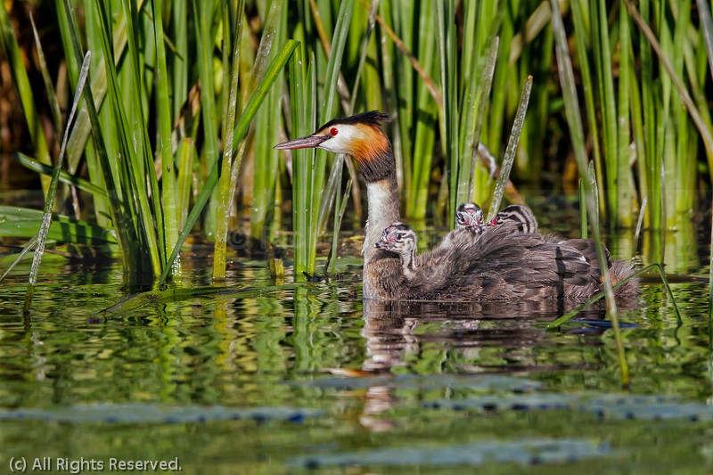 Great Crested Grebe (Podiceps cristatus) juveniles riding on back - Great Crested Grebe (Podiceps cristatus)