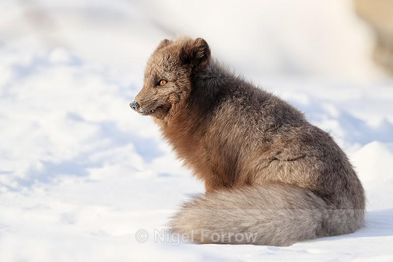 Dark Arctic Fox sitting, Svalbard, Norway - Arctic Fox