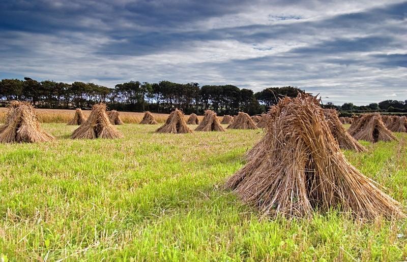 Hay stooks - Life on Man