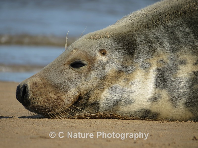 Adult Grey Seal - Animals