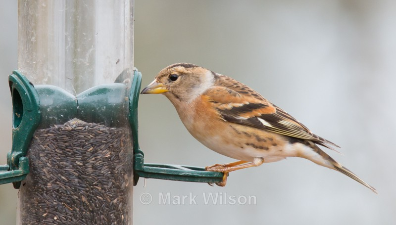 Brambling (F) - On the feeders