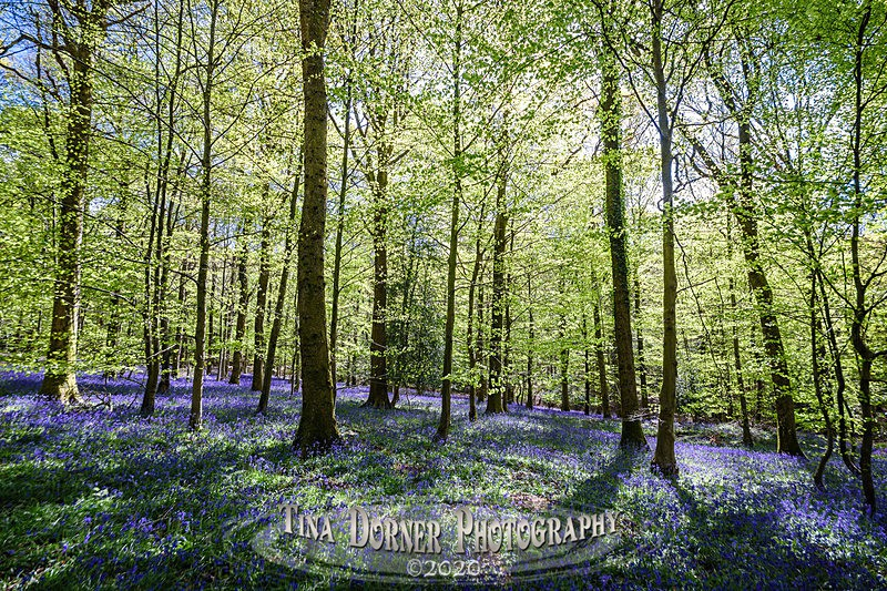 Gentle Blue - Spring & Summer in The Forest of Dean & Wye Valley and BLUEBELLS!