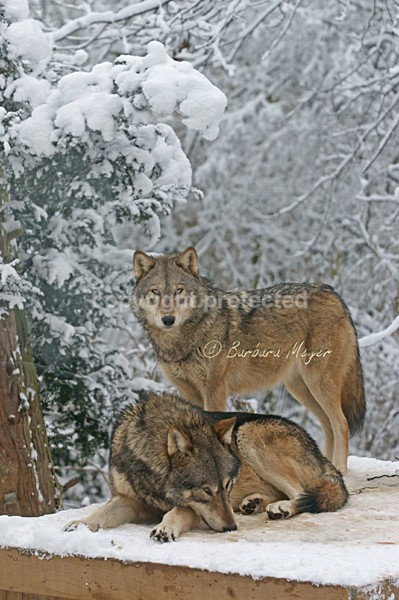 Grey Wolves - Montona & Kenai (Colchester Zoo) - Smaller Cats & Other Wildlife - Wolves