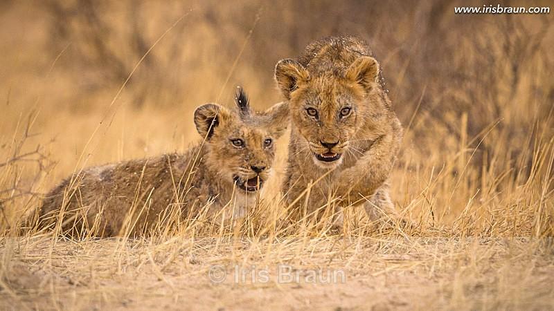Hunter - Lion