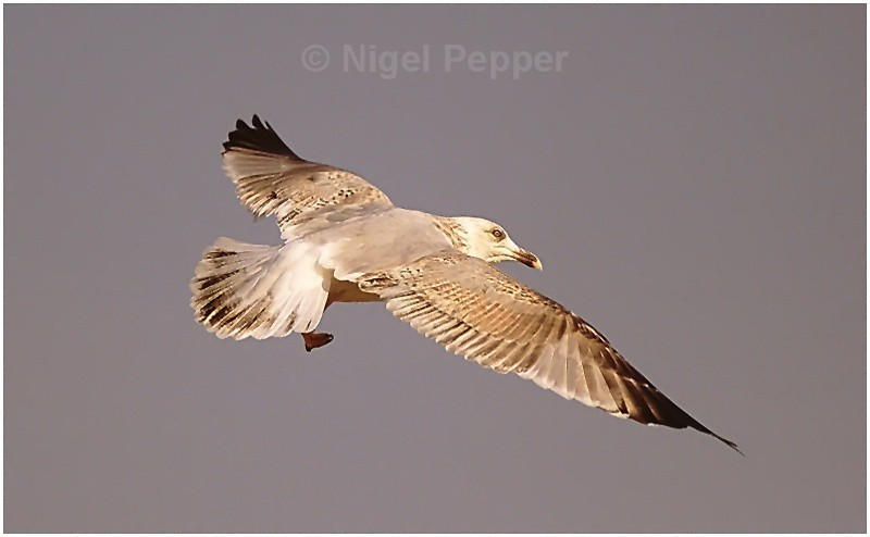 Fly Past - Leggy the Herring Gull