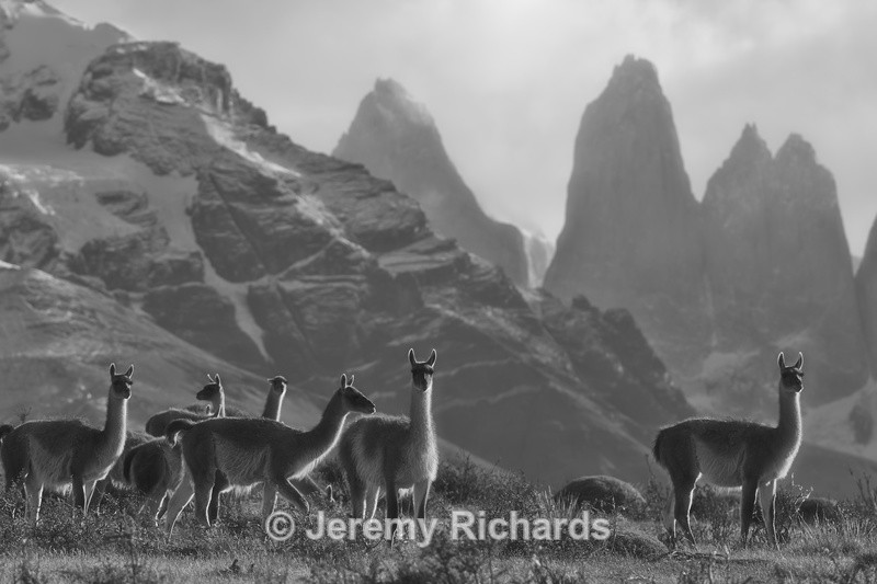 Guanaco on the Altiplano - Torres del Paine National Park