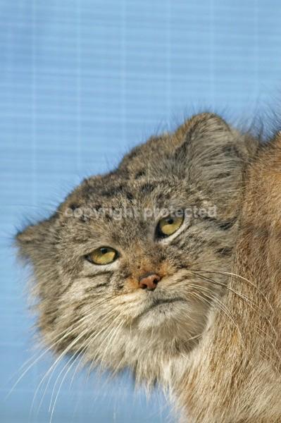 Khan - Pallas Cat - Small Cats