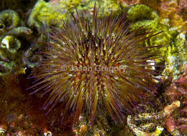 Psammechinus miliaris - Sea Urchins (Echinodermata)