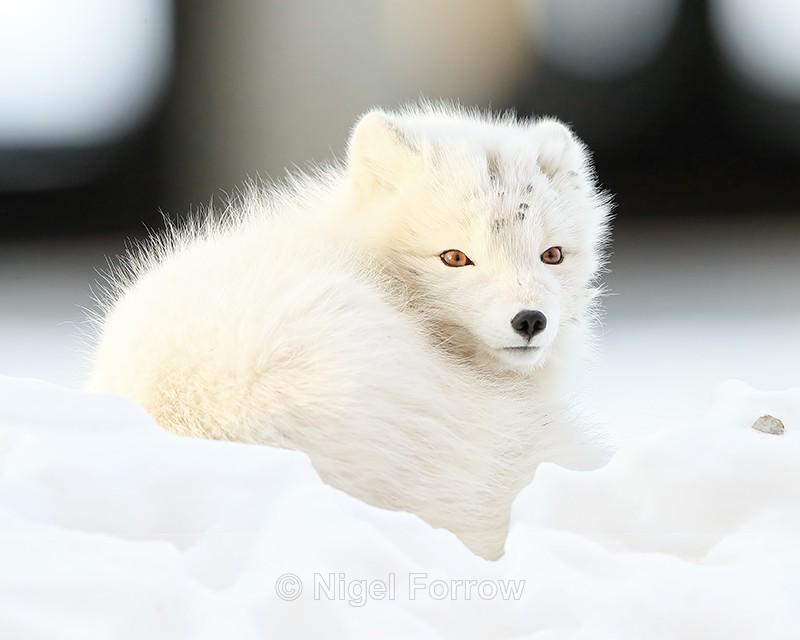Arctic Fox curled up, Svalbard, Norway - Arctic Fox