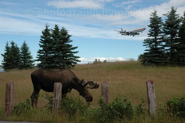 Moose at Anchorage Airport - Alaska