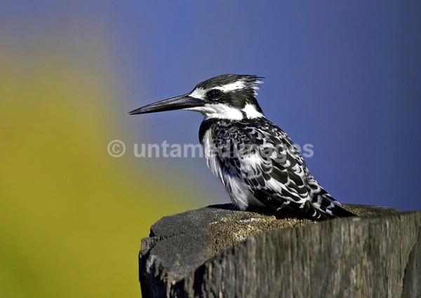 Pied Kingfisher - Kenya