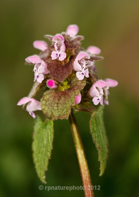Red dead-nettle -  Lamium purpureum RPNP0661 - Flowers