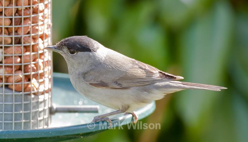 Blackcap (M) - On the feeders
