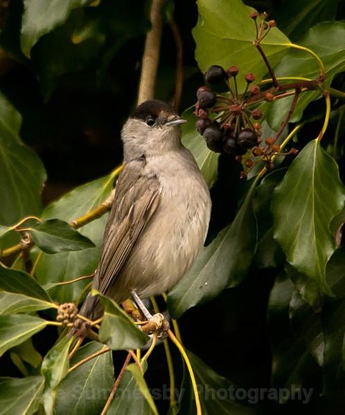 Blackcap, Topsham (our garden !) , Devon - Birds