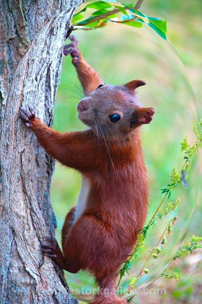 Red Squirrel - Wildlife and Animals