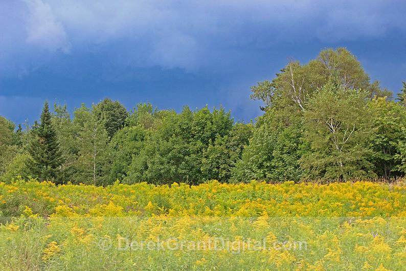 Goldenrod, Golden Light - Flora