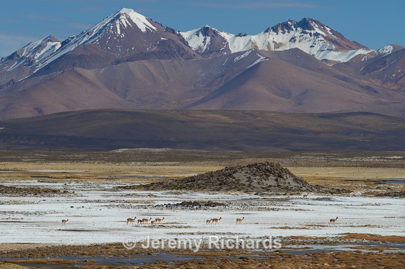 Vinunas Crossing a Salt Pan - Altiplano of North-East Chile