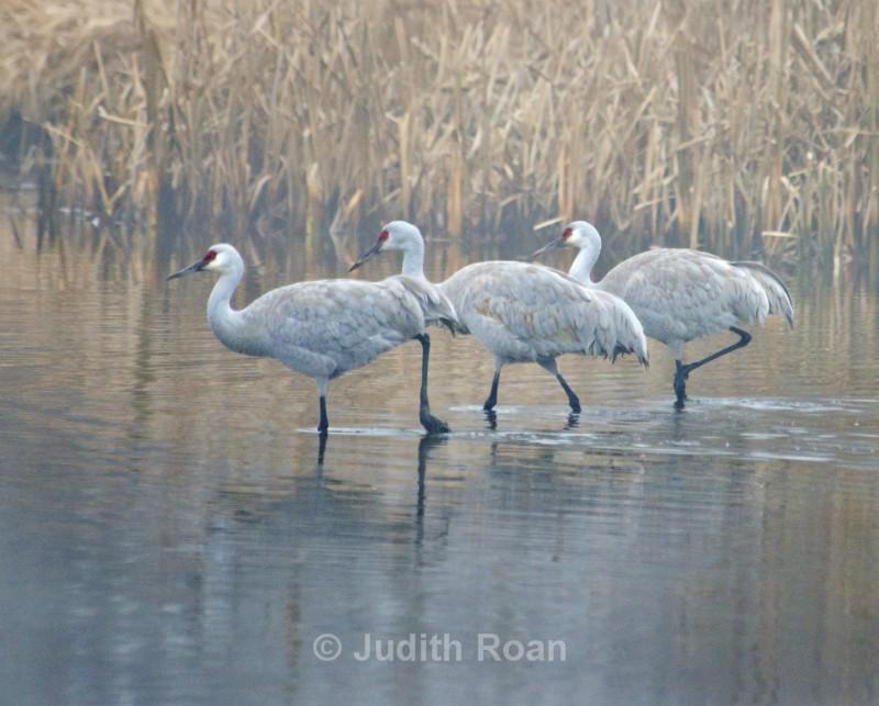 Sandhill Crane Three - Reifel Refuge