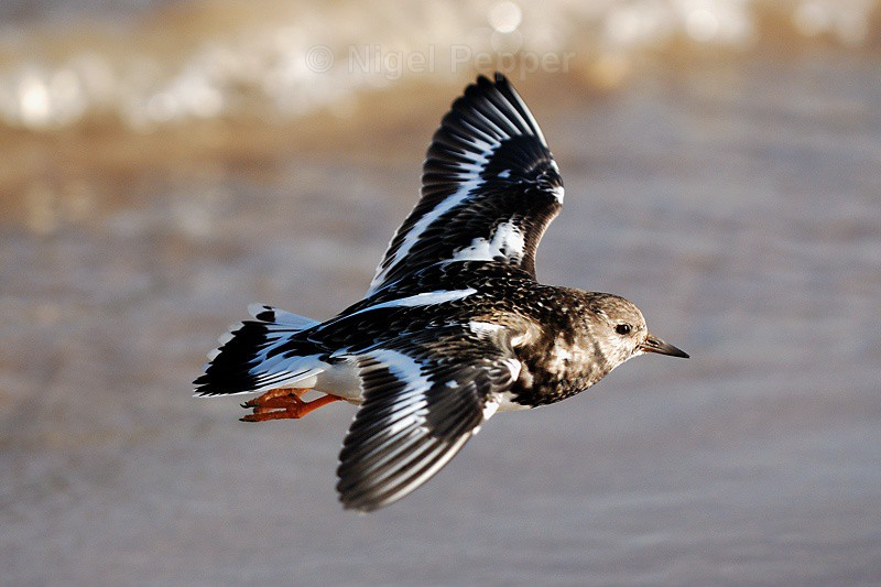 Turnstone ( 2 ) - Sanderlings and Turnstones