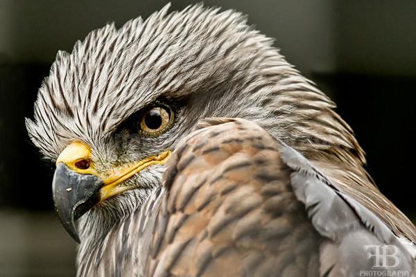 Wow Nove-4 - Birds of Prey