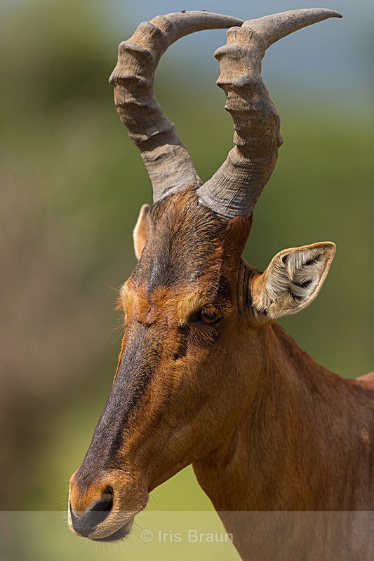 Head and Horns - Antelope
