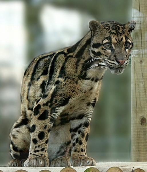 272 BEN - BIG CATS