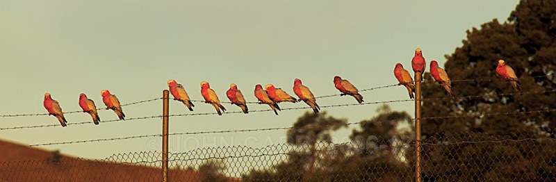 Galahs On Fence-8522 - ANIMAL AND BIRD PHOTOS