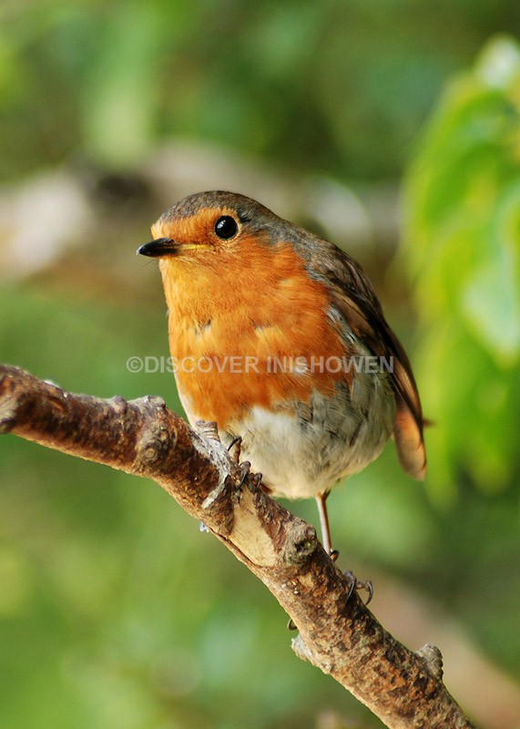 Robin - Wildlife