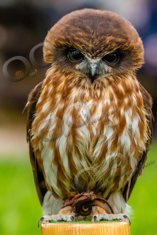 boobook owl Ninox boobook-6889 - Owls of the World