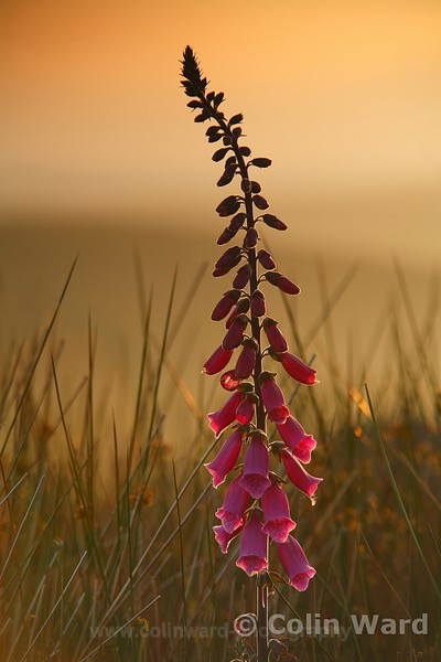 Foxglove at Sunset. Ref 2812 - Close up images