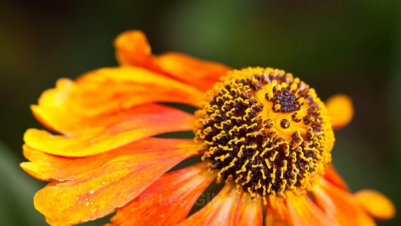 ASTERACEAE HELENIUM - Flowers