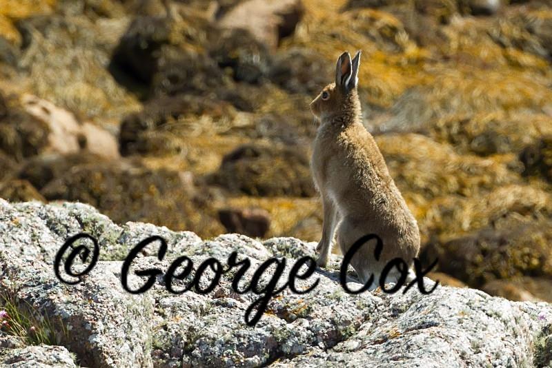 Mountain Hare on Mull - Mammals